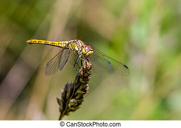 Large yellow dragonfly sympetrum vulgatum sat on a dry blade of grass