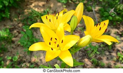 large yellow lily in flowerbed - large yellow lily in the...