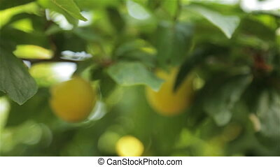 Large yellow plums in the garden - Large yellow plums on a...