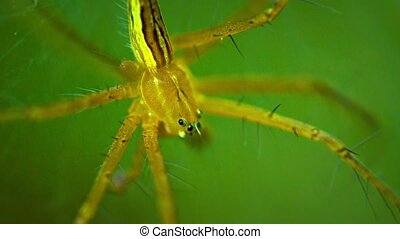 """Large, Yellow Spider on a Leaf. FullHD video"""