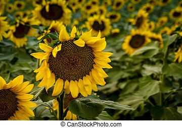 Large yellow sunflowers at sunset - Close up of single bloom...