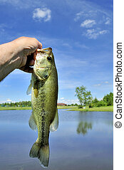 Largemouth Bass - A largemouth freshwater bass caught on a...