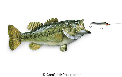 Largemouth bass chasing lure isolated on white background -...