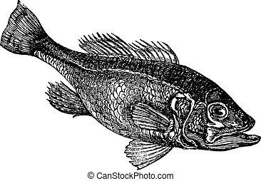 Largemouth bass (Micropterus salmoides) or widemouth bass...