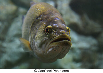 largemouth bass underwater looking towards the camera