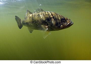 largemouth, fish, basse