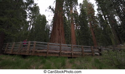Largest known living single stem tree on Earth Sequoia...