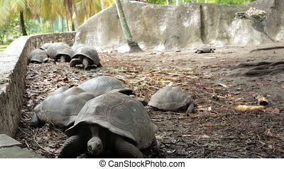 Largest tortoises in the world - Big turtle in the open-air...