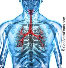 laringe, trachea, bronchi., illustrazione, 3d
