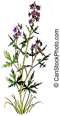 Delphinium - Larkspur - Delphinium glaucum