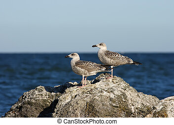Larus argentatus Herring Gull - Two young herring gulls on a...