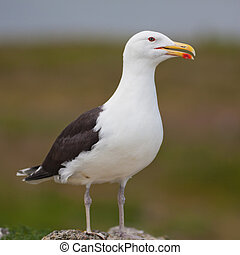 Larus Marinus - Close up of a Great Black-backed Gull on...
