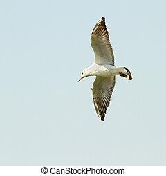 larus ridibundus ( black-headed gull ) flying against he sky