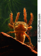 larva crested newt - portrait of a larva of the crested newt...