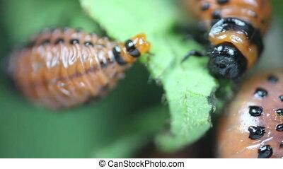 Larva Of Leptinotarsa Decemlineata Eating Potato Leafs....
