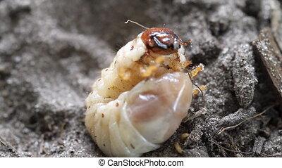 Larva of OX Beetle