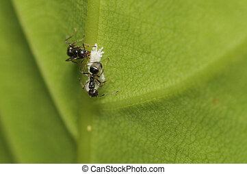 larva, resquing, formiga, niger), pretas, (lasius
