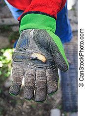 Larva - Hand in working glove holding a larva