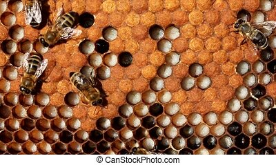 Larvae and cocoons of bees - Bees take care of the larvae -...
