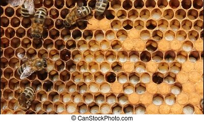 Larvae and cocoons of bees - Bees take care of the larvae...