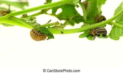 Larvae of a potato bug eat a bush on white background -...