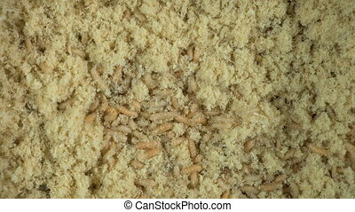 Larvae of fly in sawdust - Footage of maggots in sawdust,...