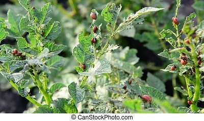 Larvae of potato beetle on tops - Larvae of potato beetle on...