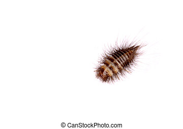 Larval form of Anthrenus flavipes (furniture carpet beetle):...