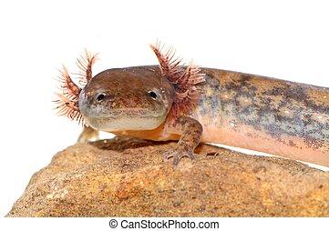 Northern Two-lined Salamander (Eurycea bislineata) - Larval...