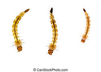 larvas, encima, macro., mosquito, blanco
