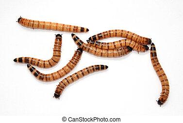 larvas, escarabajo