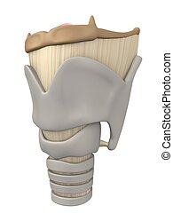 larynx anatomy - 3d rendered anatomy illustration of human...