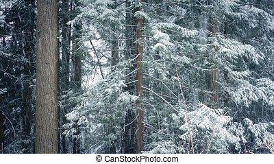 las, drzewa, w, śnieżyca