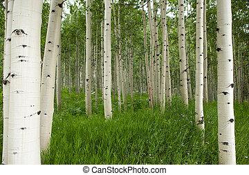 las, od, wysoki, biały, osika, drzewa, w, osika