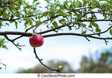 last apple in tree