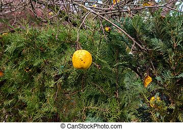 Last forgotten gold apple before green hedge