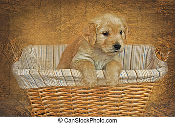 Last Of The Litter - Golden retriever pup in basket with...