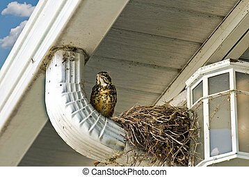Last One - Last baby robin to leave the nest.