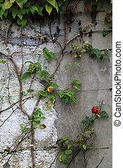 Last roses on stone wall
