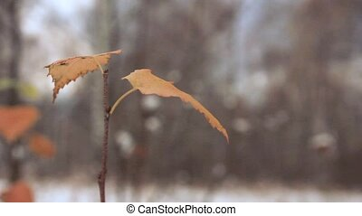 last yellow birch leaves