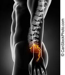 latéral, anatomie, sacral, dos, vue