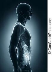 latéral, système, anatomie, digestif,  mâle, vue
