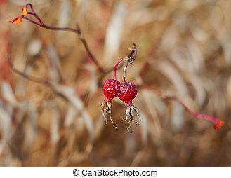 (lat., dziki, owoce, roses., rosa), jagoda, czerwony, tło., rosehip, zamazany, jesień
