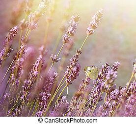 Late afternoon in flower garden - lavender flower