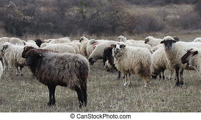 Late Autumn Herd of Sheep