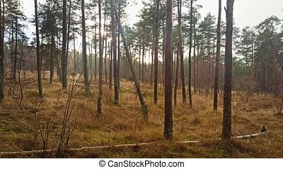 Late autumn pine forest in the rain