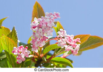 Late pink snowball flowers  in april