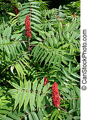 late summer: red sumac against a background of its green leaves