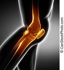 lateraal, anatomie, menselijke knie, links, been, aanzicht