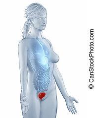 lateral, anatomi, isolerat, ställning, kvinna, blåsa, synhåll